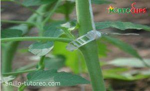 anillo tutor en planta