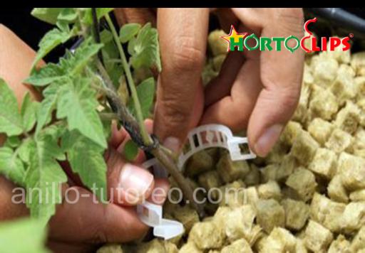 Instalación de clip en planta jóven.