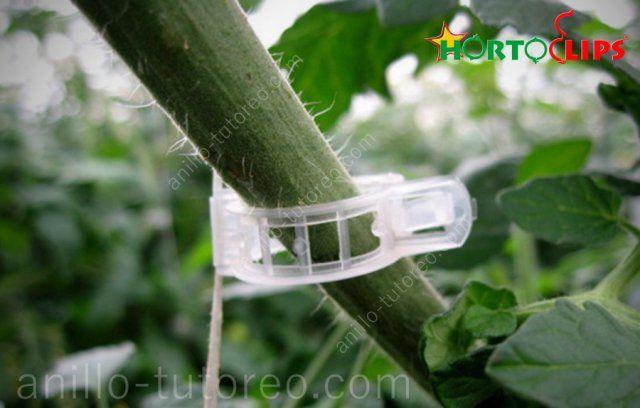 vista de cerca planta de tomate con anillo de tutoreo con rafia