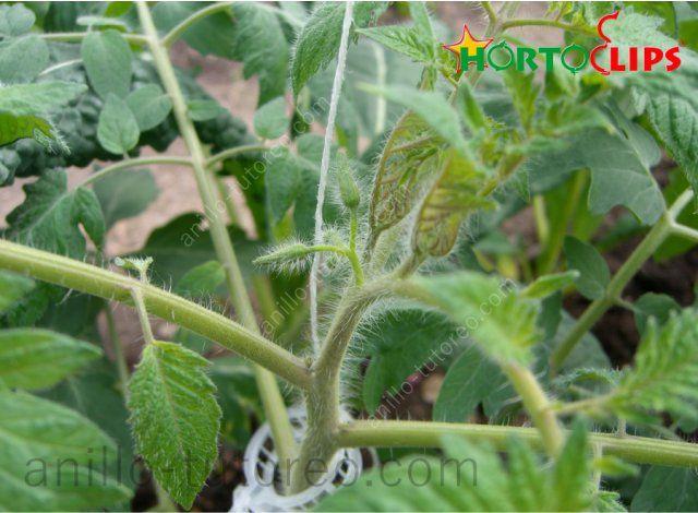 Anillo de tutoreo soportando tallo de planta de tomate a rafia