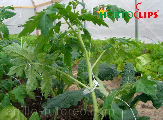Anillo de tutoreo sujetando planta de tomate en cultivo