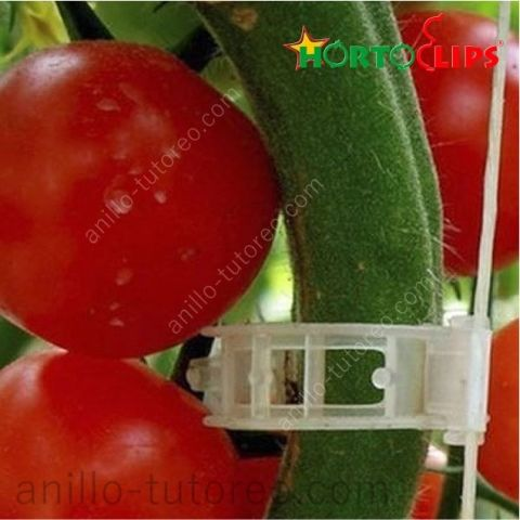 Close up de tallo y tomates sujetos con un anillo de tutoreo a rafia