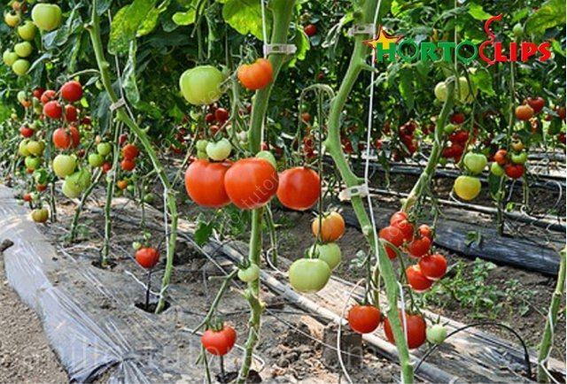 Culltivo de tomates tipo holandes con anillos de tutoreo sujetos a rafia