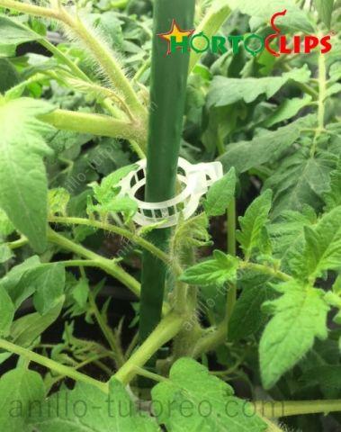 Cultivo de tomate entutorado con hortoclip anillo de tutoreo