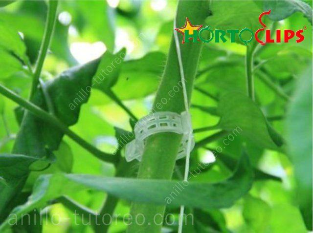 Entutorado de planta de tomate con anillo tutoreo sujeto a rafia
