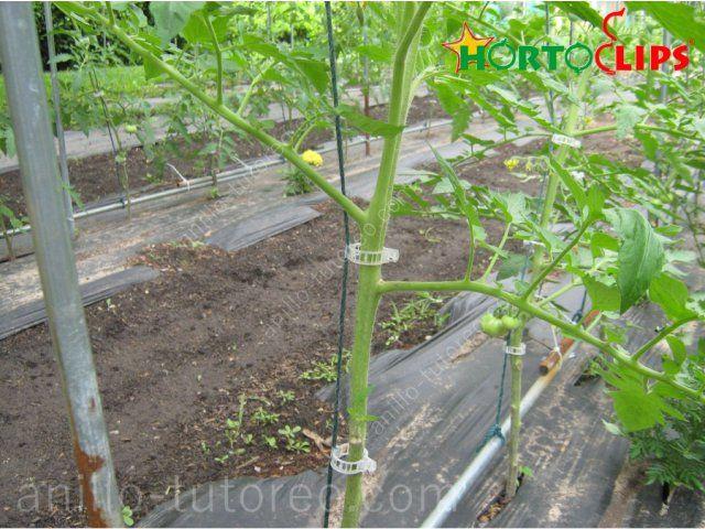 Planta de tomate con anillo de tutoreo sujeto a rafia